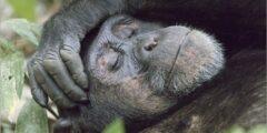 معلومات عن حيوان الشمبانزي جديدة ستذهلك